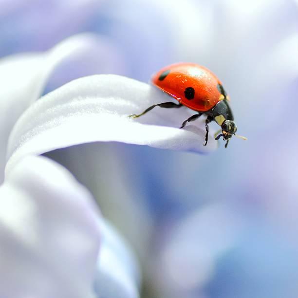 Ladybird in flower