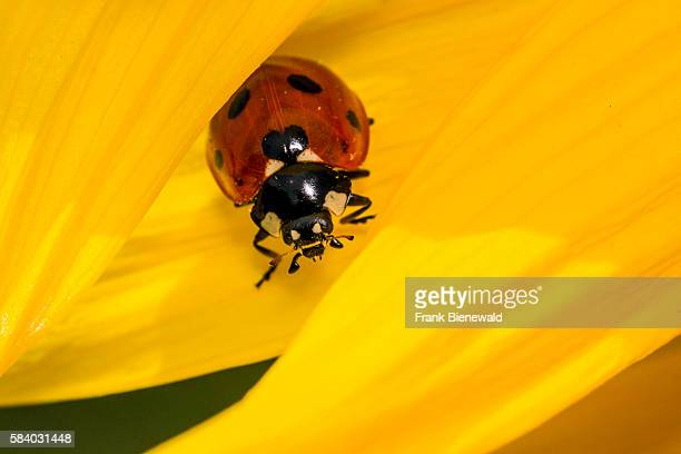 Ladybird is sitting a common sunflower leaf