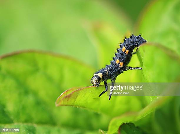 Ladybird larva, macro image