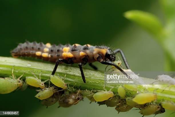 Ladybird larvae kill aphid