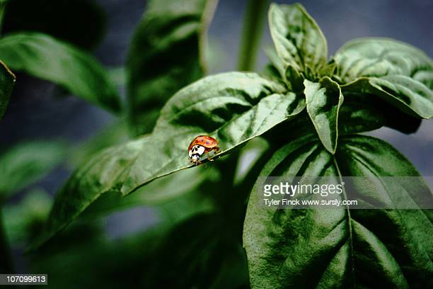 ladybird  on basil - sursly stock pictures, royalty-free photos & images