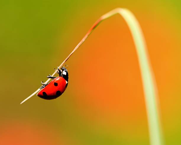 Ladybird On Blade Of Grass Wall Art
