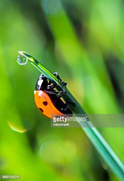 Ladybird on blade of the grass