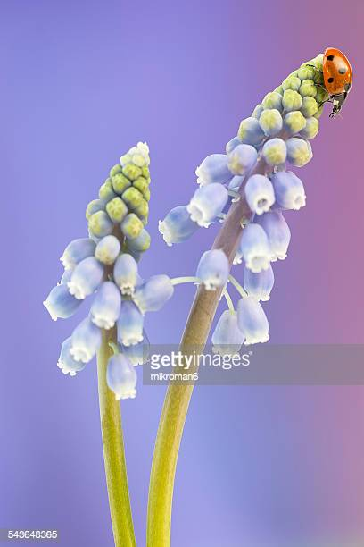 ladybird on blue flower - muscari armeniacum stock pictures, royalty-free photos & images