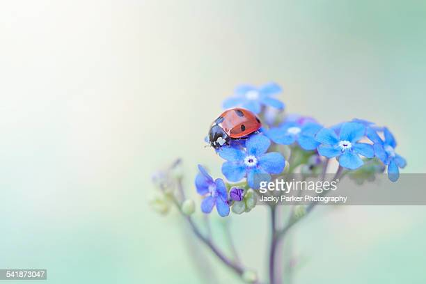 ladybird on blue forget-me-nots - animals in the wild stock pictures, royalty-free photos & images