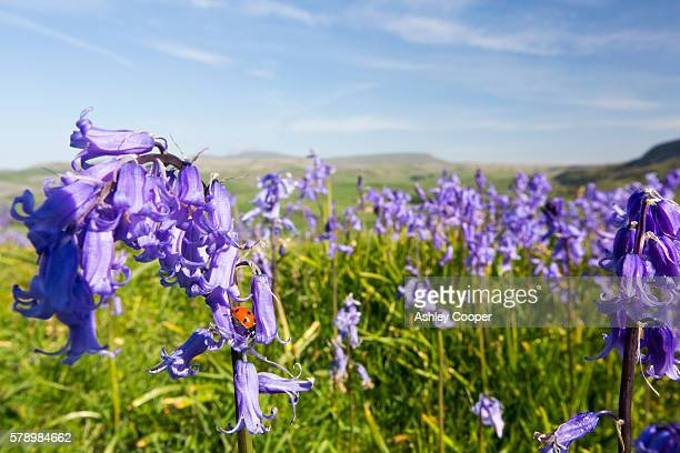 a ladybird on bluebells growing on a limestone hill in the yorkshire dales national park, uk. - limestone pavement stockfoto's en -beelden