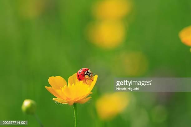 Ladybird on buttercup, close-up