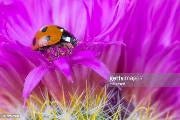 Ladybird on cactus flower