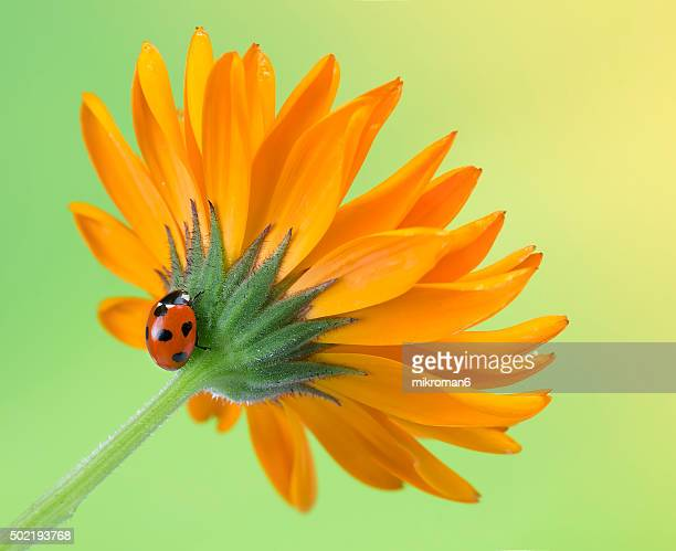 Ladybird on Calendula flower