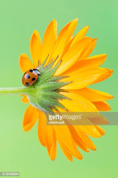 Ladybird on calendula flower