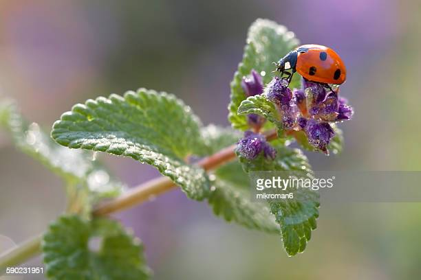 ladybird on catmints flower - catmint stock pictures, royalty-free photos & images