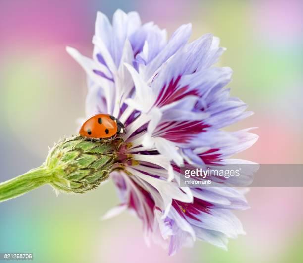 Ladybird on Cornflower