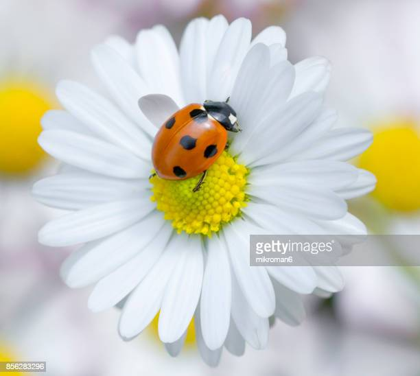 ladybird on daisy flower - ladybug stock pictures, royalty-free photos & images