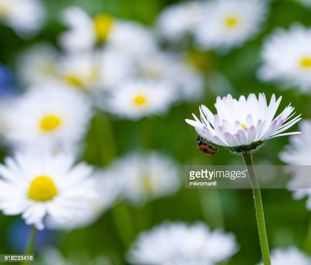 ladybird on daisy flower - seven spot ladybird stock pictures, royalty-free photos & images