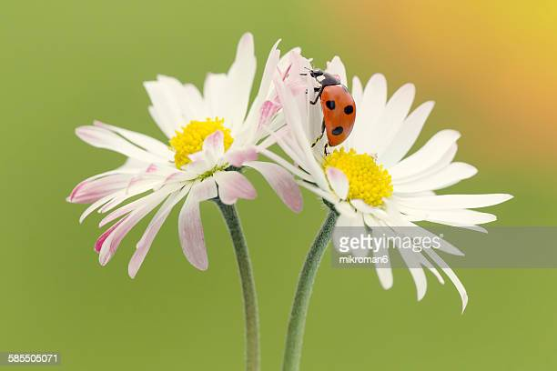 ladybird on flower - seven spot ladybird stock pictures, royalty-free photos & images