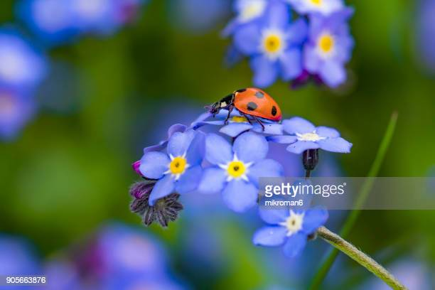 ladybird on forget me not flower - seven spot ladybird stock pictures, royalty-free photos & images