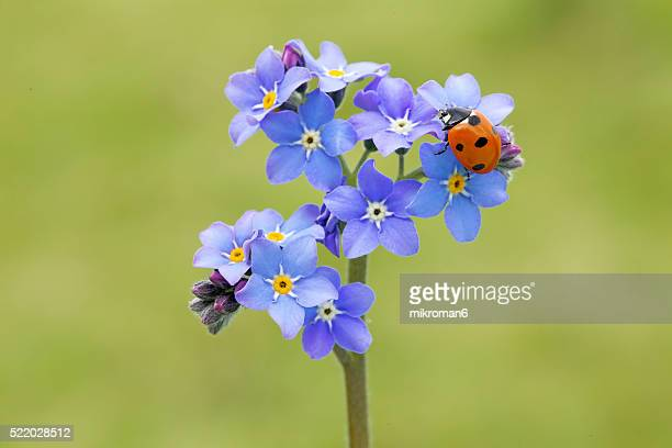 Ladybird on forget me not flowers