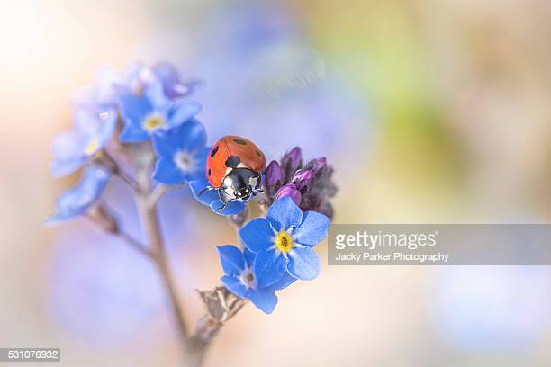 ladybird on forget-me-not flowers - forget me not stock pictures, royalty-free photos & images