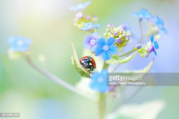 Ladybird on Forget-me-not Flowers