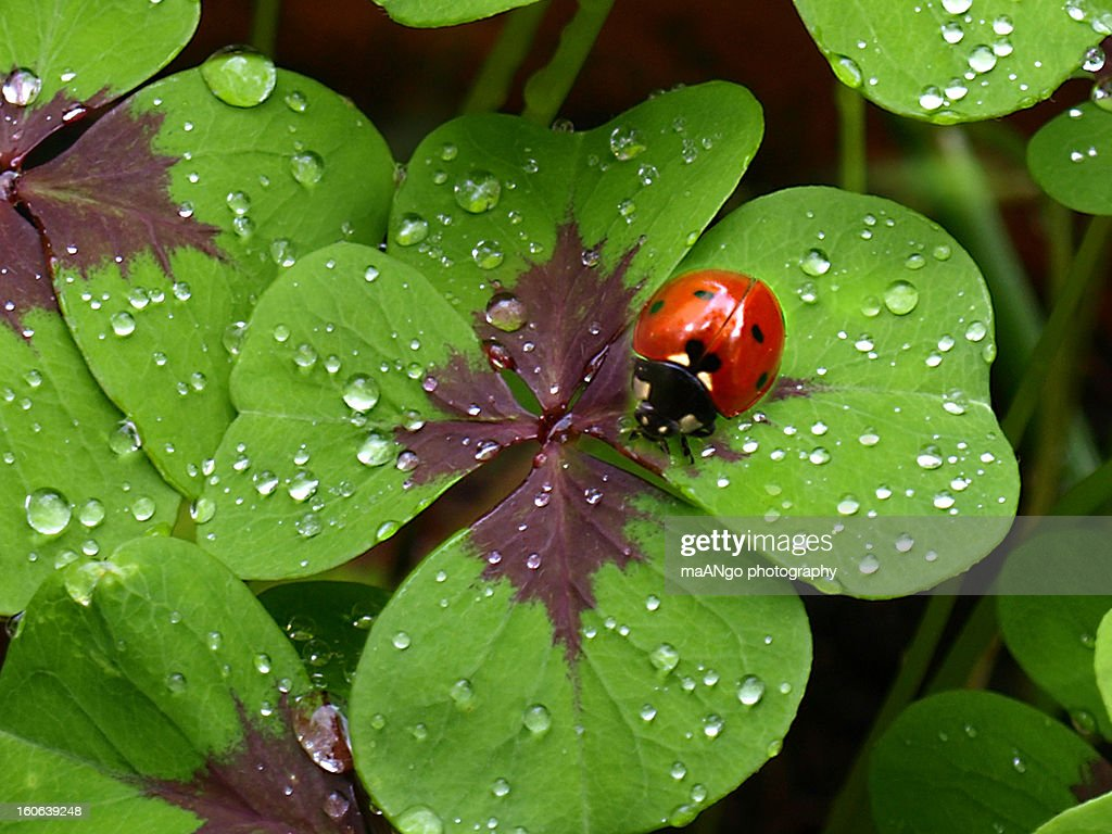 Ladybird on four-leave-clover : Stock Photo