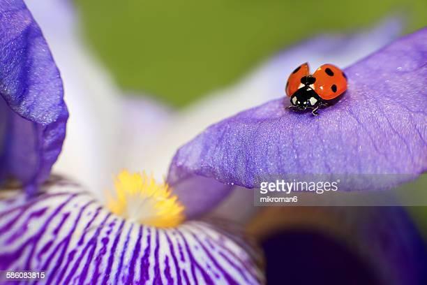 Ladybird on Iris flower