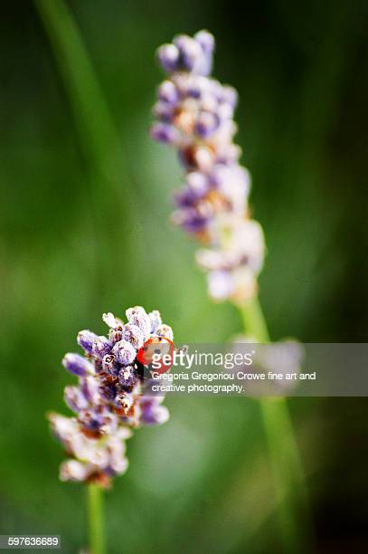 ladybird on lavender - gregoria gregoriou crowe fine art and creative photography. fotografías e imágenes de stock