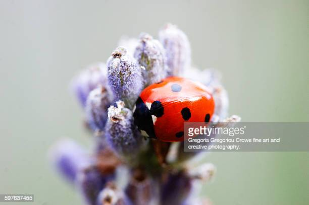 ladybird on lavender - gregoria gregoriou crowe fine art and creative photography stock photos and pictures