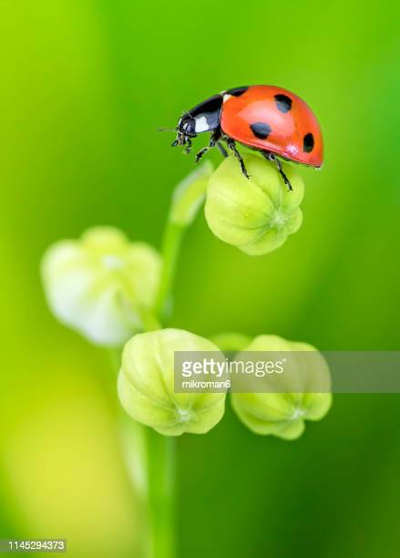 ladybird on lily of the valley (convallaria majalis) flower - ladybird stock pictures, royalty-free photos & images