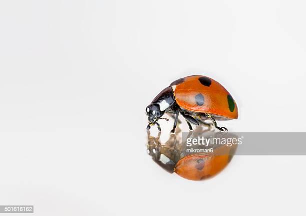 Ladybird on mirror