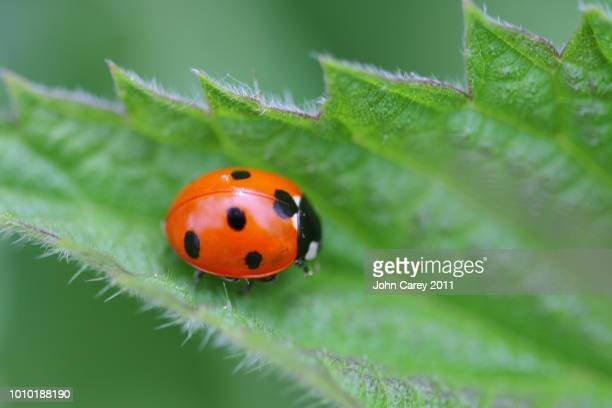 ladybird on nettle leaf - イラクサ ストックフォトと画像