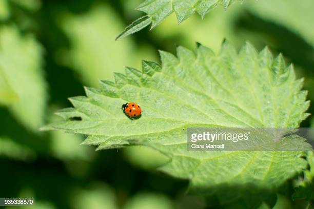 ladybird on nettle leaf - ladybug stock pictures, royalty-free photos & images