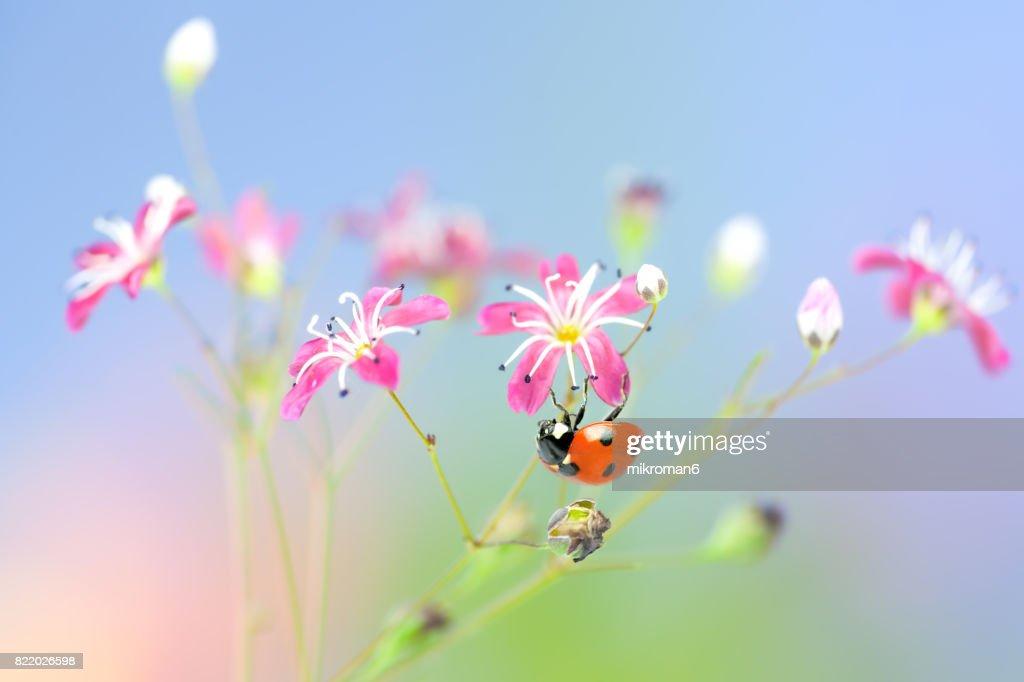 Ladybird on pink flowers : Stock Photo