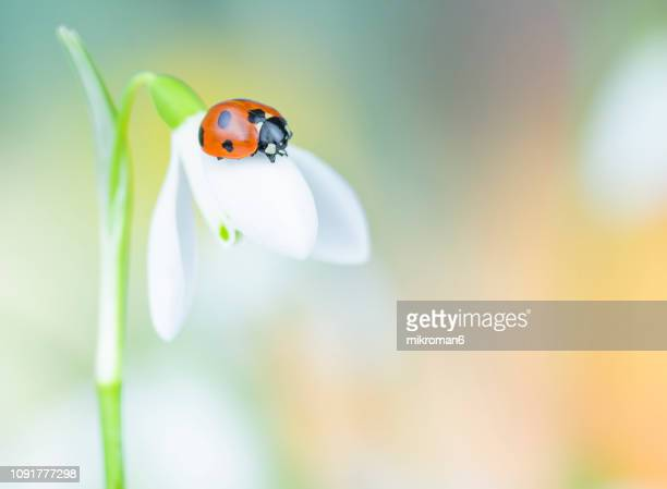 ladybird on snowdrop flower - seven spot ladybird stock pictures, royalty-free photos & images