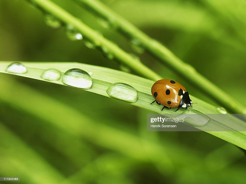 ladybird on straw : Bildbanksbilder