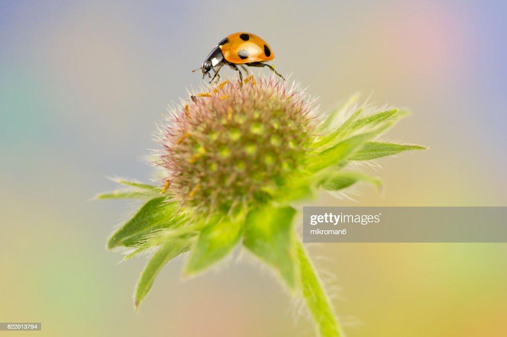 Ladybird on wildflower : Stock Photo