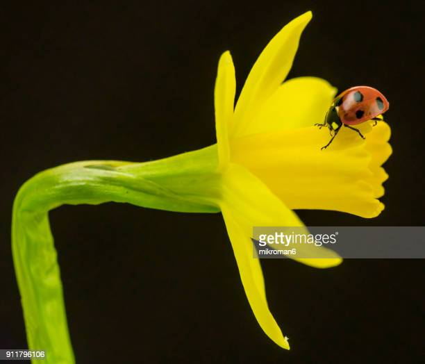 ladybird on yellow crocus flower - narcissus mythological character stock photos and pictures