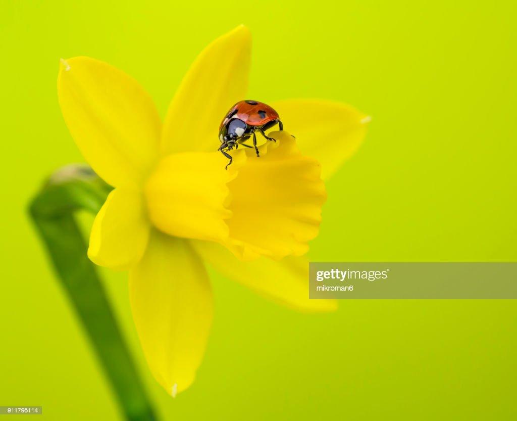 Ladybird On Yellow Crocus Flower Stock Photo Getty Images