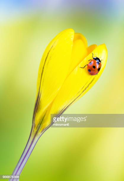 ladybird on yellow crocus flower - seven spot ladybird stock pictures, royalty-free photos & images