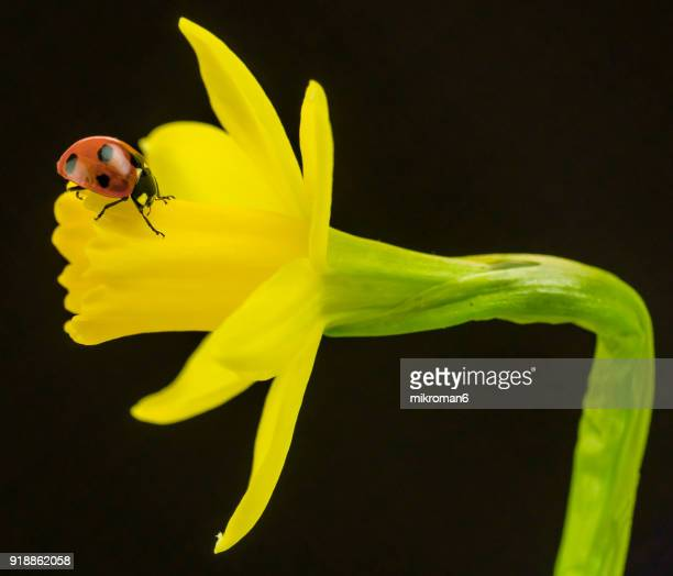 ladybird on yellow daffodil  flower - narcissus mythological character stock photos and pictures