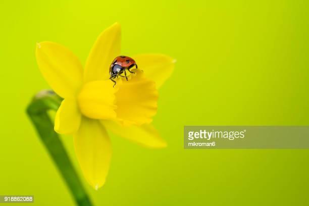 Ladybird on yellow daffodil  flower
