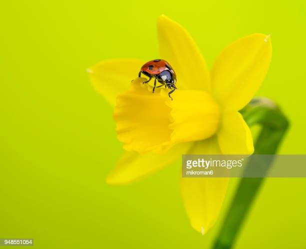 ladybird on yellow daffodil  flower - seven spot ladybird stock pictures, royalty-free photos & images