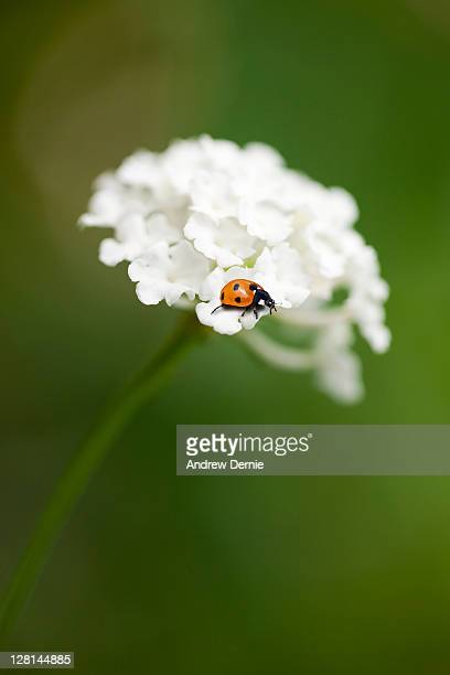 ladybird - andrew dernie stock pictures, royalty-free photos & images