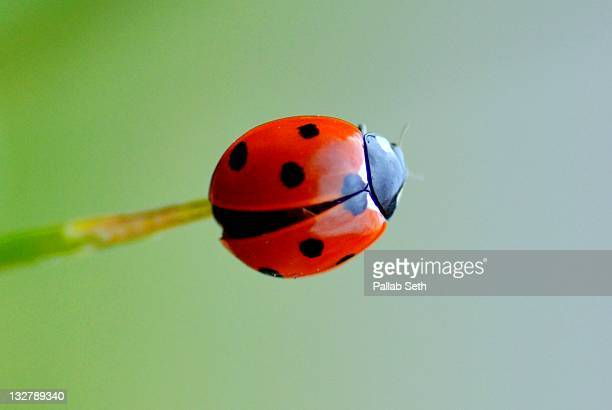 ladybird - seven spot ladybird stock pictures, royalty-free photos & images