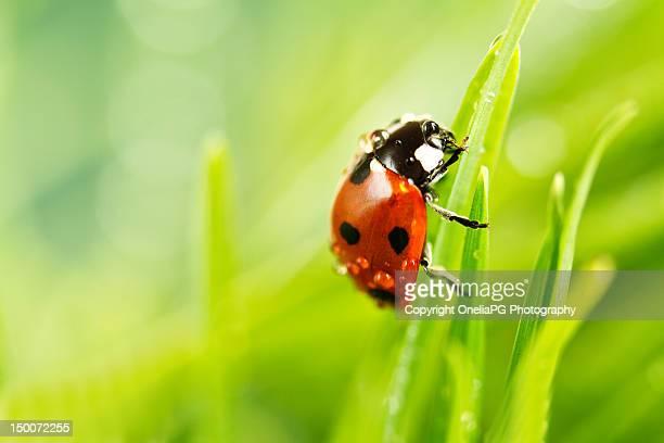 ladybird - coccinella foto e immagini stock