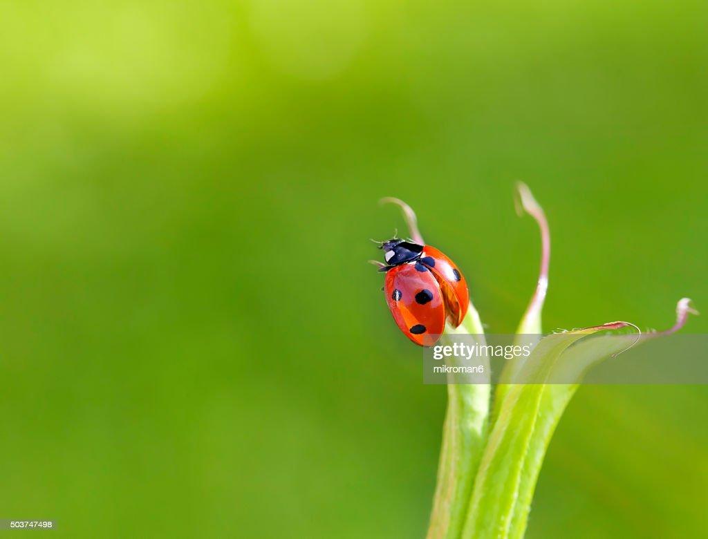 Ladybird : Stock Photo