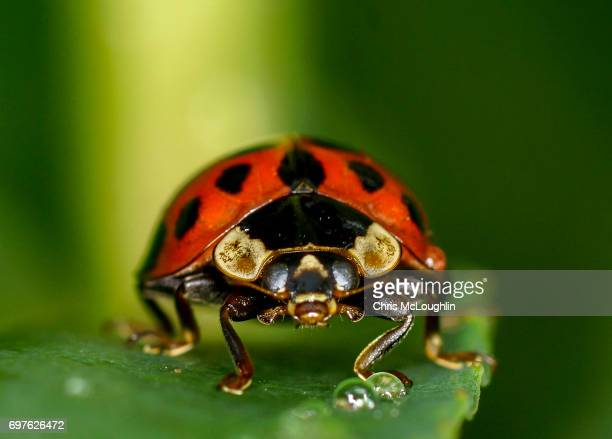 ladybird - ladybug stock pictures, royalty-free photos & images