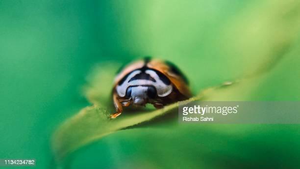 ladybird shot ll - macro animal photos et images de collection
