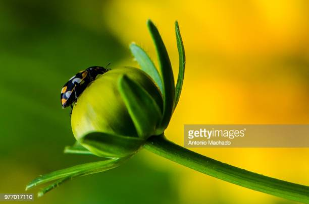 Ladybird sitting on daisy bud, Vaca Brava Park, Goiania, Brazil