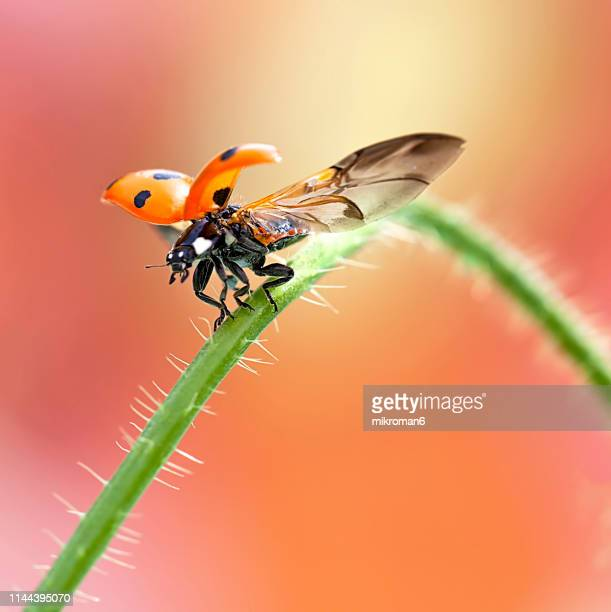 ladybird taking off - seven spot ladybird stock pictures, royalty-free photos & images