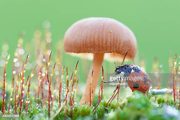 Ladybird under Mushroom